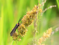 Virginia ctenucha on fox sedge  IMG_7897 (lreis_naturalist) Tags: virginia reis larry ctenucha