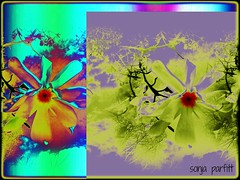 2 magnolias (Sonja Parfitt) Tags: magnolia stanleypark manipulatedimage