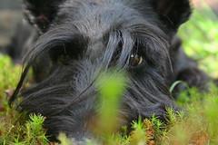 Snooki scottish terrier (kmkota) Tags: scottie scottishterrier perhaps  scottiedog skotlanninterrieri snooki perhapssnooki thescottiedog scottiesnooki snookiscottie