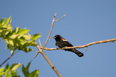 Red-Winged Blackbird (InnesAlison) Tags: summer bird nature redwingblackbird decew