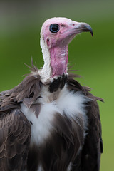Mighty Mite the vulture (Click U) Tags: park portrait animal zoo safari longleat