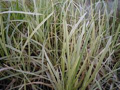 Glyceria maxima var. variegata