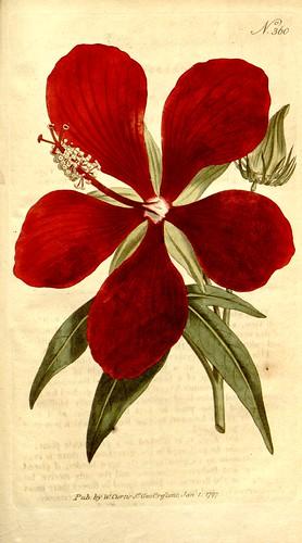 Hibiscus speciosus - circa 1796