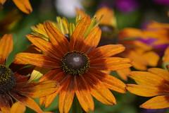 Flowers - Rudbeckia Hirta