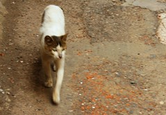 Straycat (blondinrikard) Tags: cat iran persia gilan straycat streetcat lahijan northiran gilaan gabeneh