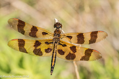 Halloween in June (rdroniuk) Tags: insect dragonflies dragonfly insects insectes libellule odonata halloweenpennant celithemiseponina libellules halloweenpennantdragonfly célithèmegéante dragonfliesofontario