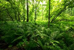 Forest of Ferns & Nettles (wackybadger) Tags: fern tree wisconsin forest nikon douglascounty nikond60 laporteacanadensis woodnettle wisconsinstatenaturalarea sigma1020mmf4exdchsm sna320 nemadjiriverfloodplainforest
