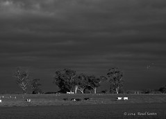 Victorian Landscape B/W (gahenty) Tags: birds cows f18 45mm omd paddock victoriaaustralia em5 lateafternoonsunlight victorianlandscape