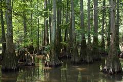 Taxodium distichum (Eric Hunt.) Tags: tree swamp trunk cupressaceae conifer buttress baldcypress taxodium taxodiumdistichum