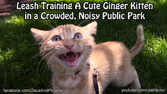 Leash Training A Cute Meowing Ginger Kitten (youtube.com/utahactor) Tags: park summer people cute green public grass training cat canon walking mackerel ginger video kitten chat outdoor tabby whiskers gato tiny meow spotted hd leash noise harness striped crowded tomcat mew helios 2014 meowing