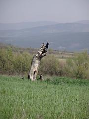 сухото дърво
