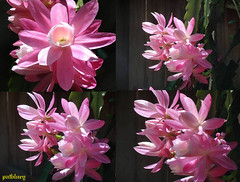 Pink cacti in my garden at Blacktown (pat.bluey) Tags: new pink friends light wales cacti south ngc australia blacktown 1001nights flickraward 1001nightsmagiccity hennysgardens