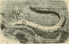 Anglų lietuvių žodynas. Žodis gymnophiona reiškia gimnofionas lietuviškai.