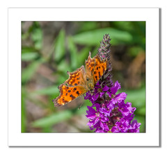 Comma Butterfly (Travels with a dog and a Camera :)) Tags: uk england southwest west flower macro art digital photoshop butterfly bristol pentax south cc ii di if af 55 tamron xr ld comma lightroom 2014 18200mm polygoniacalbum polygonia commabutterfly calbum k30 f3563 asperical justpentax pentaxart pentaxk30 tamronaf18200mmf3563xrdiiildaspericalifmacro photoshopcc2014 lightroom55