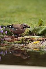 Jay (Colin Rigney) Tags: reflection nature garden jay wildlife gardenbirds wildbirds irishwildlife canoneos7d enniskerrycowicklow colinrigney