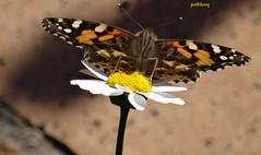 A butterfly in my garden (pat.bluey) Tags: butterfly ngc australia npc newsouthwales blacktown 1001nights mygarden specanimal natureselegantshots thebestofmimamorsgroups 1001nightsmagiccity
