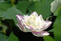 Lotus (ddsnet) Tags: plants lotus sony taiwan 99 aquatic  taoyuan aquaticplants slt               singlelenstranslucent 99v