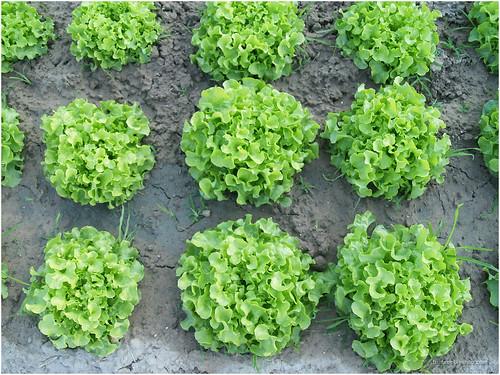 Vegetable garden @ Maejo University