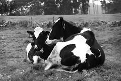 Vacas (Oscar F. Hevia) Tags: vaca vacas res ternera pinta blancoynegro cow cows pint cattle beefcattle blackandwhite asturias asturies colunga españa paraisonatural principadodeasturias spain