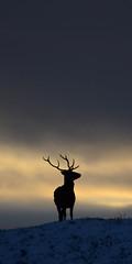 Stag Silhouette (Gavin MacRae) Tags: stagsilhouette stag reddeerstag silhouette deersilhouette deer cervuselaphus winterstag winterwildlife woodlandwildlife wildlife winter scottishwildlife scottishnature strathglass glenstrathfarrar glencannich glenaffric goldenhour highlandsofscotland highlandnature highlandwildlife highlands nikon nature scotland