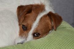 2017-03-23_02-19-00 (andreadresemann) Tags: süss terrier parsonjackrussel natur mydog dog hund haustier