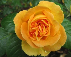 Rose, Explored on March 25.th. 2017 (Hannelore_B) Tags: rose blume flower
