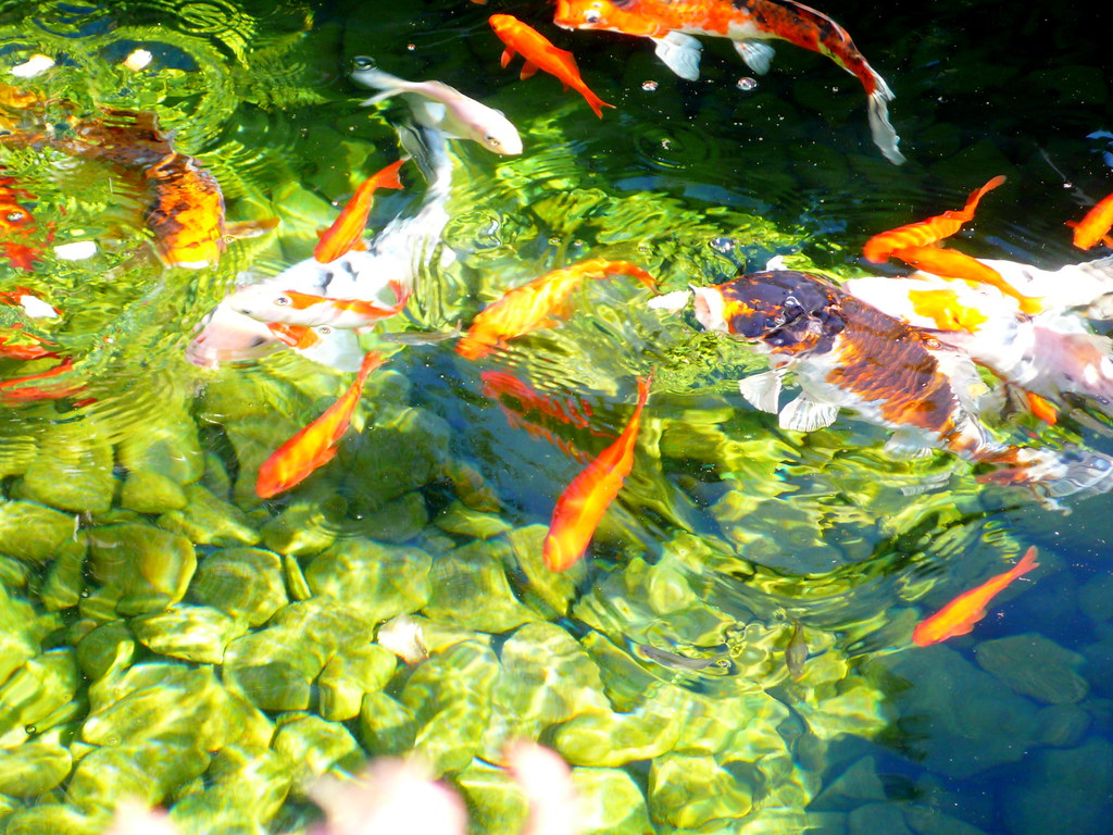 The world 39 s best photos of koi and water flickr hive mind for Koi fish family