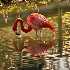 It's me... (W_von_S) Tags: flamingo hellabrunn munich münchen zoo tierpark animal tier vogel bird natur nature licht light spiegelung reflection outdoor spring frühling red rot wasser water wvons werner sony reflexion wow