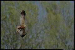 _DSK3279-27-03-2017-1 - falco di palude (r.zap) Tags: circusaeruginosus falcodipalude rzap parcodelticino