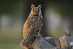 The Long-eared owl (Noor Hussain.) Tags: longeared longearedowl asio asiootus otus strix strixotus wildlifeofpakistan wildlife wwf wild bbc birdsofpakistan birdsofmultan nature natgeo noorhussain ngc outdoor owl bird raptors iucn