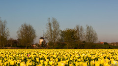 Double dutch, windmill and tulips (BraCom (Bram)) Tags: bracom tulips trees tulpen bomen windmolen dekorenbloem 1748 spring lente voorjaar bloemen flowers windmill evening avond oudetonge goereeoverflakkee zuidholland nederland southholland netherlands holland canoneos5dmkiii widescreen canon 169 canonef24105mm bramvanbroekhoven nl