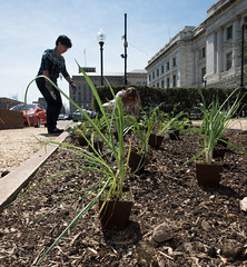 20170405-AMS-LSC-2037 (USDAgov) Tags: usda departmentofagriculture usdepartmentofagriculture peoplesgarden nationalmall washington dc planting seed sprout tools soil garden transplant plant align spring coolweather