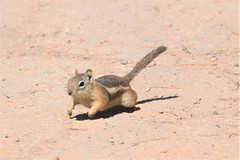 Bryce Canyon National Park (Tobyotter) Tags: brycecanyon utah 2017 goldenmantledgroundsquirrel