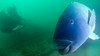 Groper Love (Corey Hamilton) Tags: bareisland scubadiving
