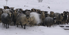 all it takes it a bit of sheepish behaviour ... (lunaryuna) Tags: norway lofoten lofotenislands winter season seasonalbeauty sheep vikingsheep sheepishbehavious funny lovelybunch snow ice animals beauty nature lunaryuna thesheepwhisperer