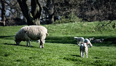 Sheep May Safely Graze (Tired Old Dude) Tags: sheep yorkshire spring lamb ewe