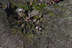 Kleinzell (Harald Reichmann) Tags: niederösterreich kleinzell kleinzellerhinteralm reisalpe holz baumstumpf ring linie muster struktur zeichnung moos verwitterung querschnitt