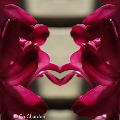 (christine chardon) Tags: fleurs flowers flores fiori innommés creatureart creaturedesign creation creature nature plante botanic photoart masque personnage fantastique mysterious printemps spring jacinthe rose