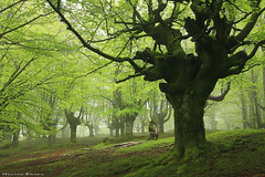 Chlorophyll (Hector Prada) Tags: bosque hayedo primavera niebla musgo naturaleza verde árbol luz magia forest spring fog moss roots nature green trees light magic paisvasco basquecountry orozko