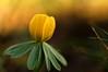 eranthis hyemalis (JossieK) Tags: eranthishyelmalis winter aconite winterling flower yellow small spring