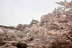 Japanese Spring (moaan) Tags: himeji hyogo japan jp castle himejicastle castletower cherrytrees cherryblossoms blossoms blossoming inbloom fullblossom architecture outdoor spring april utata 2017 canoneos5dsr ef1635mmf4lisusm