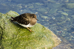 20170304 Oak Bay Black Turnstone (Robert Harwood) Tags: turnstone blackturnstone bird oakbay victoria britishcolumbia canada shore