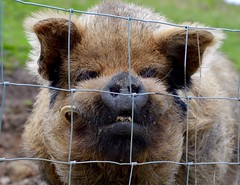 This little piggy.... (rustyruth1959) Tags: nikon nikond3200 tamron16300mm yorkshire ripponden pig porcine animal outdoor pet domesticanimal domesticpig teeth snout tusk nostrils hairy ears mouth enclosure mud grass fence