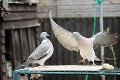 21 April 2017 (8) (AJ Yakstrangler) Tags: yakstrangler pigeon pigeons