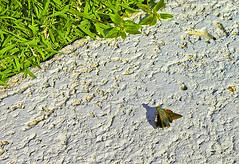 Moth, Florida Keys (gg1electrice60) Tags: floridakeys islamorada monroecounty florida fl unitedstates usa us america insect moth grass concrete walkway sidewalk near1935hurricanememorial flyinginsect 81793ushwy1 usroute1 us1 stateroad5 sr5 overseashighway overseashwy oldstatehighway4a just north johnston rd justnorthofjohnstonroad justnofjohnstonrd justnorthofjohnstonrd justnofjohnstonroad hurricanememorial memorialtoveteranslostinhurricane usveteranslostinhurricane 1935hurricane