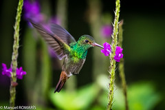 Rufous-tailed hummingbird (Manuel ROMARIS) Tags: costarica rufoustailedhummingbird parquenacionalvolcanarenal lafortuna provinciadealajuela cr