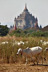 Burma's ancient history (Peter Denton) Tags: ပုဂံ bagan temple buddhist buddhism burma myanmar bullock ox bovine quiet tranquil southeastasia ©peterdenton canoneos100d thatbyinnyu