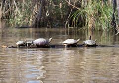 Terapins waiting for bus. (dafydd_ap_w) Tags: neworleans basking honeyisland line row sunbathing swamp terapin turtle