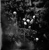 as a warning to the others (sandrovonah) Tags: hasselblad500c hasselblad500 hasselblad hassi carlzeissplanar carlzeiss carlzeissplanar80mmf28 planar80mmf28 planar80mm planar ilford ilfordpanf ilfordpanf50 ilfordpanfplus panf blackwhite bw monochrome monobath film filmfilmforever analog 120film mediumformat garden homedeveloped selfdeveloped