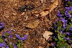 Junonia villida (Meadow Argus) (birdgal5) Tags: australia newsouthwales sydney royalbotanicgardens insecta lepidoptera nymphalidae meadowargus junonia junoniavillida nikon d200 1755mmf28g 1755mmf28gdx inaturalistorg